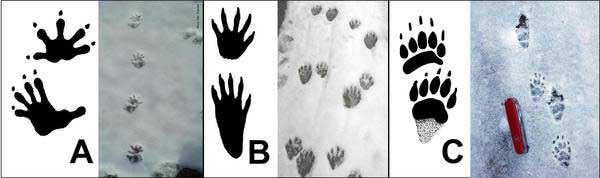 Track marks for three woodland animals, marked A, B, and C.