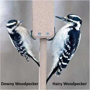 Downy and hairy woodpeckers side-by-side